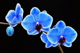 blue orchid flower 7 stunning blue orchids for your home pollennation