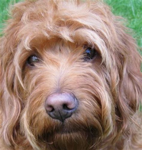doodle kisses food top 25 ideas about goldendoodle on f1b