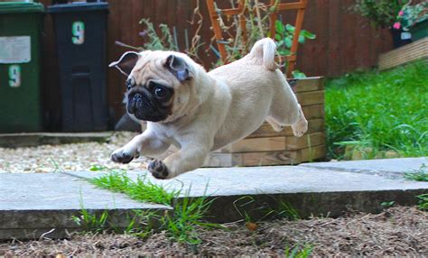 r pugs baby pug in mid air x post from r pugs photoshopbattles