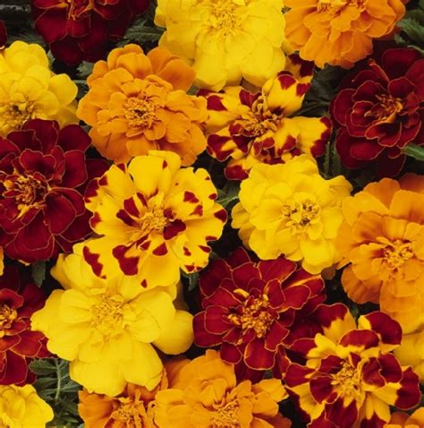 Tanaman Hias Marigold Pohon Hias Bunga Marigold benih marigold durango outback mix jual tanaman hias