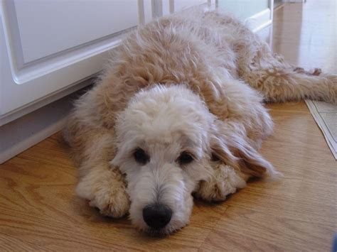 goldendoodle puppy mills 17 best ideas about standard goldendoodle on