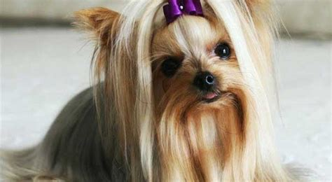 yorkie allergies treatment terrier information all about yorkies
