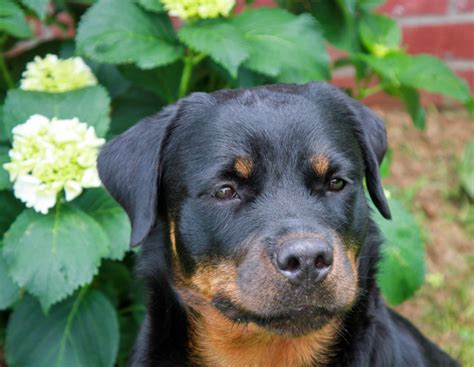 how much food should i feed my rottweiler puppy how much should i feed my each day a southern