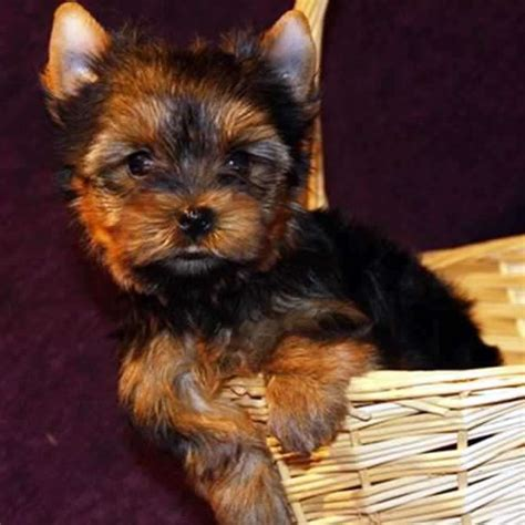tiny yorkies tiny yorkie puppy for sale teacup yorkies sale