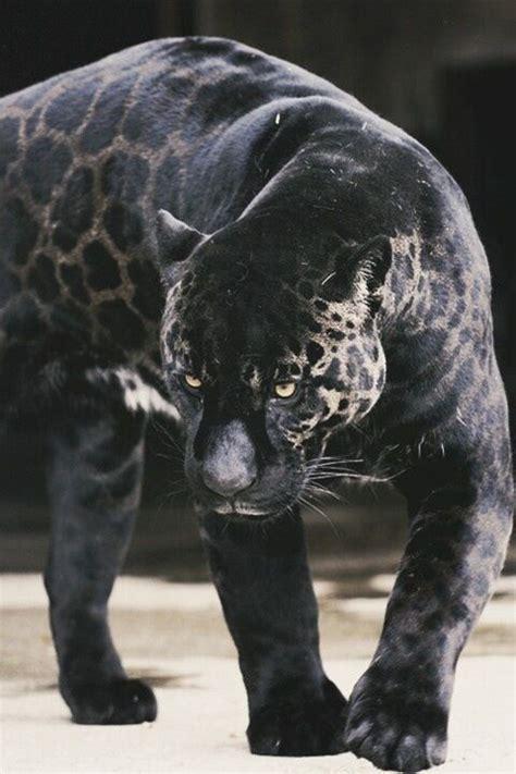 black jaguar michelles black jaguar