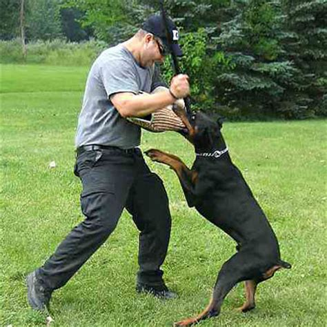 how to your doberman to be a guard doberman biting nails images