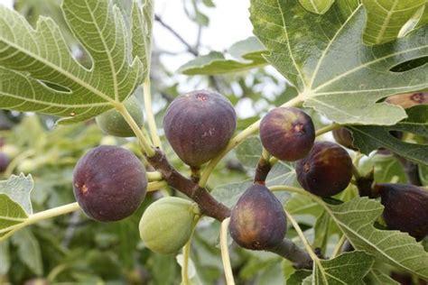 Best Fruit Tree For Backyard Figa W Doniczce Domowa Uprawa Drzewa Figowego