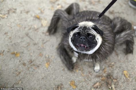 pug puppies new york hundreds of dogs dress up for 25th parade in new york city daily mail