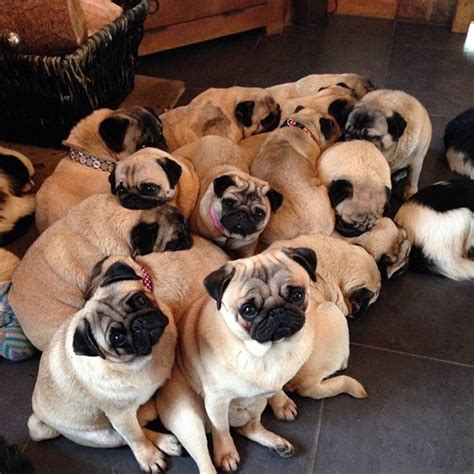 what is a of pugs called mypugobsession fact a of pugs is