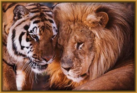 imagenes de tigres y leones juntos fotos tigres y leones archivos fotos de tigres