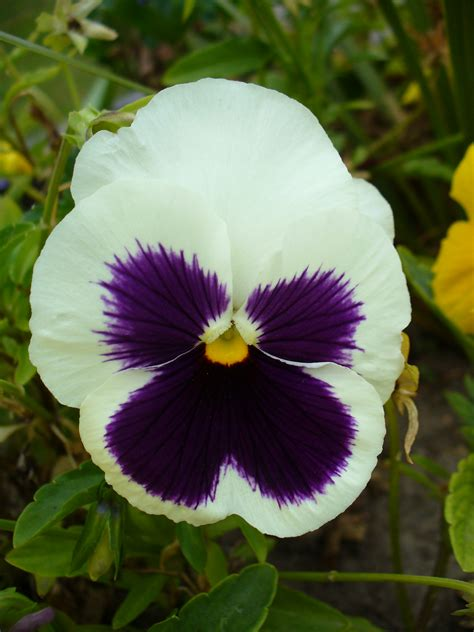 file colourful viola flower jpg wikimedia commons