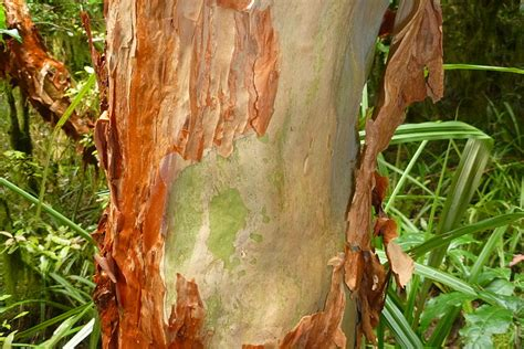 Tree That Sheds Bark by Peeling Bark What Does It T G Tree Services
