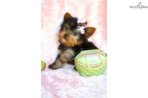 looking for a yorkie puppy 1000 images about sandeez babies for sale on
