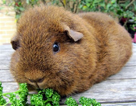 all things guinea pig breeds and varieties