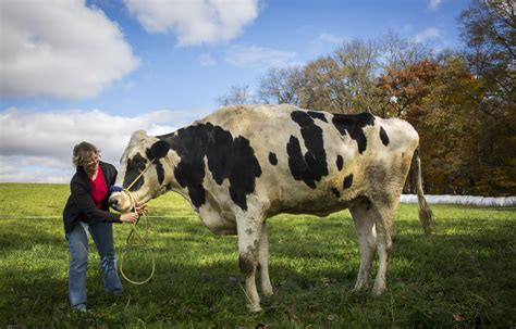 Chicago Tribune Records Northwestern Illinois Home To Guinness Book Of World Records Tallest Cow Chicago