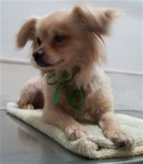 tibetan spaniel x pomeranian taco pomeranian tibetan spaniel mix adorable adoptable fluffy pup