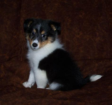 sheepdog puppies for adoption sweet sheltie puppies for adoption bartlett il asnclassifieds