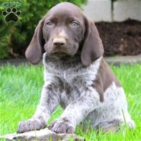 german shorthaired pointer puppies ny german shorthaired pointer puppies for sale in de md ny nj philly dc and baltimore