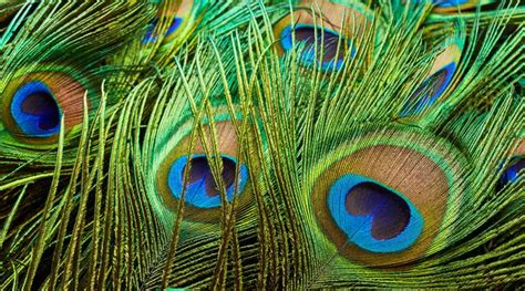 Novel Dastan All The Players Feather peacock feathers inspire new variety of non polluting fabric dyes