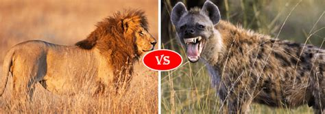 african lion  hyena fight comparison   win