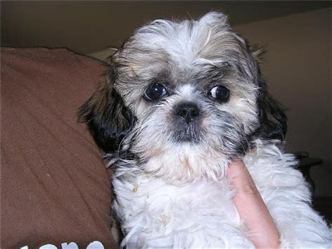 grown shih tzu list of 25 pound dogs breeds picture