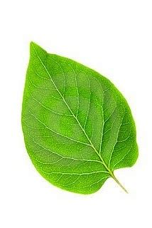 apometria universalista caboclo folha verde