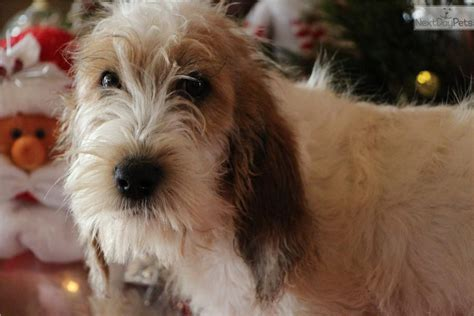 petit basset griffon vendeen puppies for sale meet cade a petit basset griffon vendeen puppy for sale for 500 cade