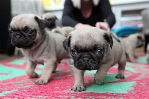 average pug size walkergate owners astonished after pet pug gives birth to ten tiny pugs