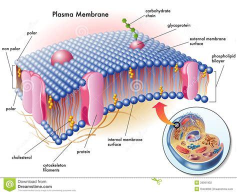 plasma membrane stock photography image