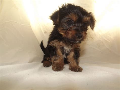 teacup yorkie rescue animal rescue dogs cats more rescuemeorg the knownledge