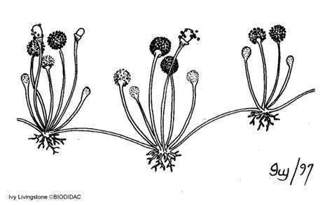 5 klasifikasi jamur beserta ciri ciri dan gambar hedi sasrawan