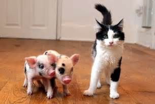can you house train a pig yours for 163 650 the micro pigs that are the latest designer pets jane croft daily