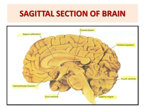 sagittal section of the skull ppt brain stem external features powerpoint