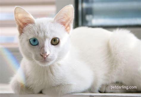 imagenes en blanco de gatos gato blanco significado razas y fotos petdarling