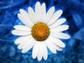 locusart photography wallpaper energy blue daisy