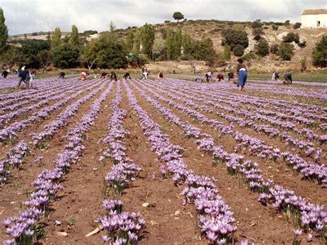 coltivare fiori in serra coltivazione zafferano aromatiche come coltivare lo