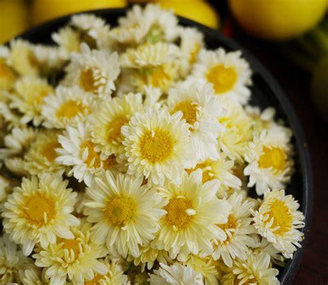 Chrysanthemum buy chrysanthemum tea health benefits how to make side