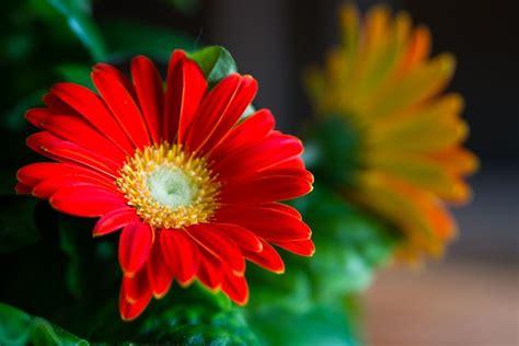 fiore gerbera gerbera piante appartamento caratteristiche della gerbera