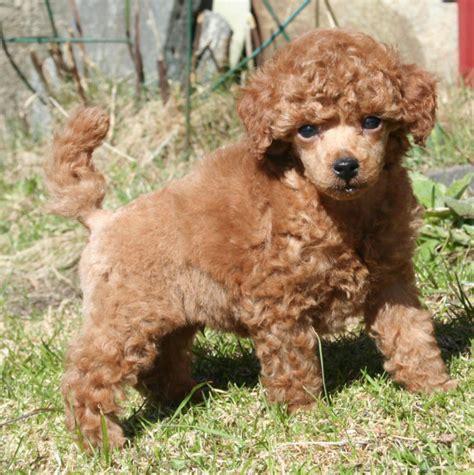poodle lifespan poodle puppy poodle photo