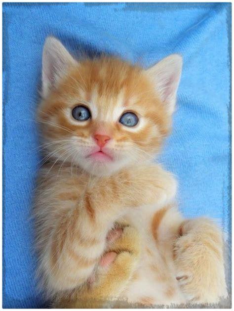 imagenes gatitos hermosos las bonitas imagenes de gatitos hermosos gatitos tiernos