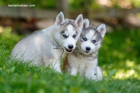 huskey puppies for sale customer reviews siberian husky puppies for sale