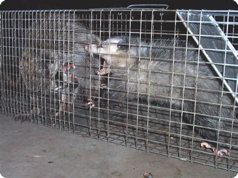 raccoon vs raccoon versus opossum fight coon vs possum