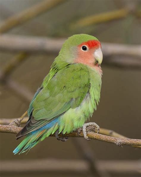 peach faced lovebird animals pinterest