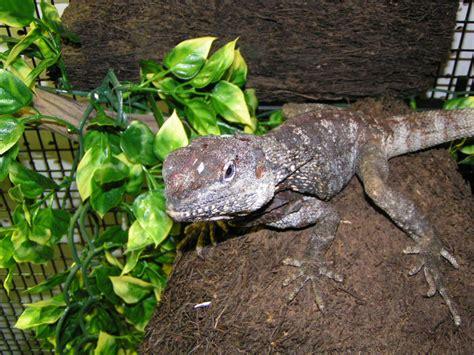 reptile room hayward 100 iguana pet store near me 138 best iguanas images on iguanas reptile