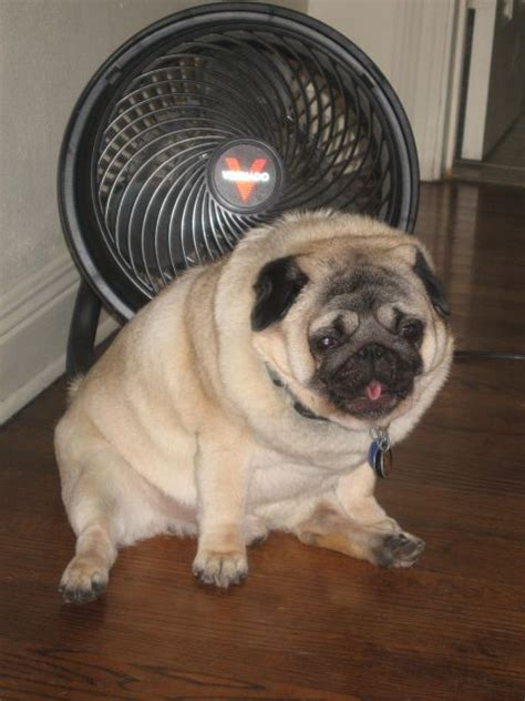 obese pug 17 best ideas about pug on pug puppies pugs and baby pugs