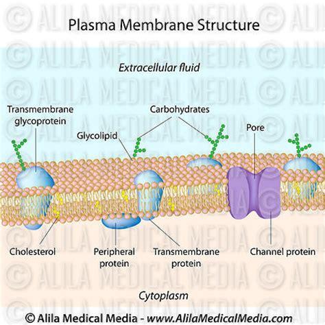 plasma membrane diagram alila media structure of plasma membrane