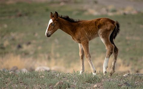 an horse wild horses one of nevada s greatest features