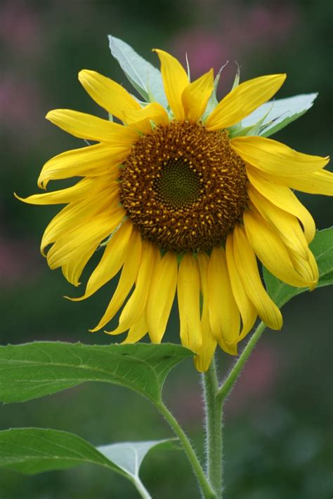 Sunflower Kuaci Bunga Matahari 1000 G 1000 images about sunflowers on pink sunflowers sunflower seeds and
