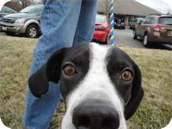 english setter boxer mix www pixshark com images winchester adopted dog 2011 865il st paul mn