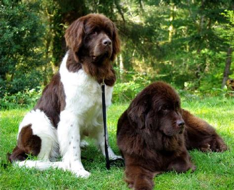 brown and white puppies brown and white newfoundland breeds picture